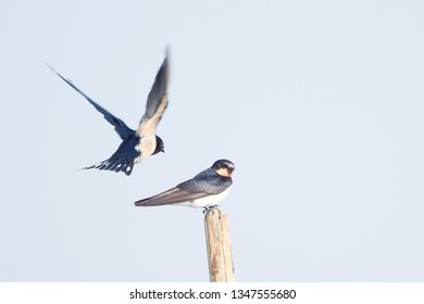 The barn swallow is the most widespread species of swallow in the world.