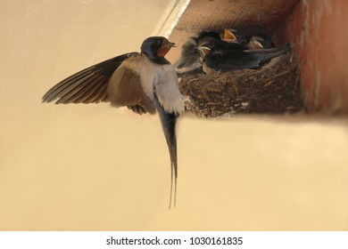 Barn swallow on the nest
