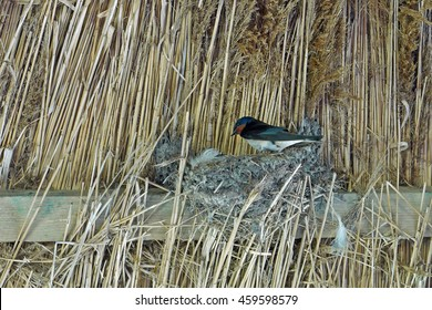 Barn swallow on nest under a straw roof