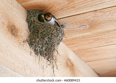 Barn swallow on nest under a wooden roof
