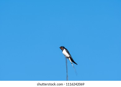 Barn Swallow on the top of a weathercrock by a blue sky
