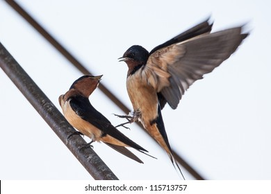 Barn Swallow at Point Pelee National Park