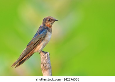 Barn swallow resting on nature
