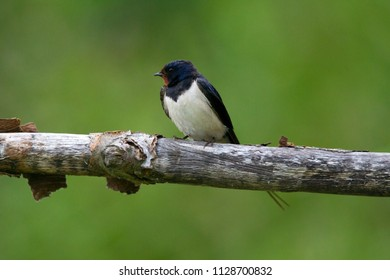 Barn Swallow is sitting on a branch near the Diep Hut in Oranje, the Netherlands