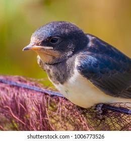 Barn Swallow, Sweden.