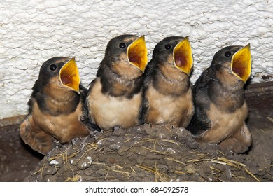 Barn Swallows In The Nest