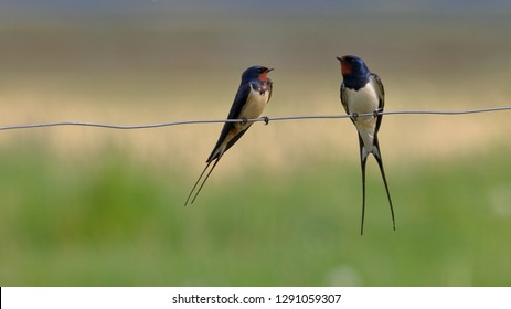 Barn Swallows on a fence wire