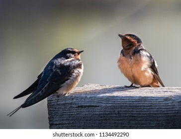 Barn Swallows Sitting on a Pier Near a Lake i Colorado.