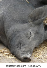 Barn yard pig enjoying an afternoon snooze