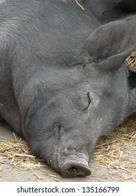 Barn yard pig enjoying an afternoon snooze