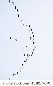 Barnacle geese against autumn sky, migrating to south.