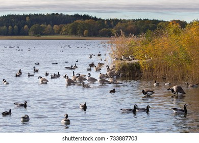 Barnacle geese (Branta leucopsis) bathing in the autumn-cold waters north of Stockholm.