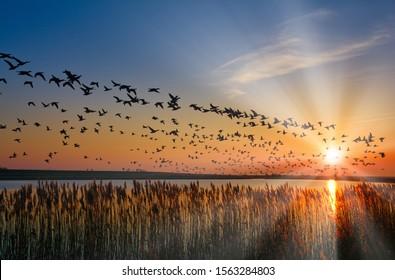 Barnacle Geese (Branta leucopsis) hibernate at Wadden See national Park,North sea,Germany