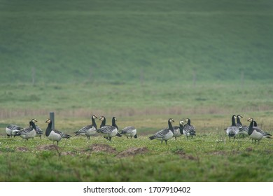 Barnacle geese grazing on a meadow