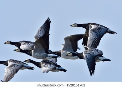 Barnacle geese on the baltic sea in fall