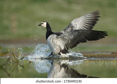 Barnacle goose bird landing in the wetlands with water splashing and wings spread