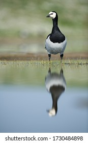 Barnacle goose bird standing in the wetlands with small grass and reflection in the water
