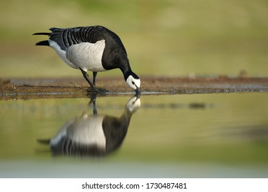 Barnacle goose bird  in the wetlands drinking water with reflection