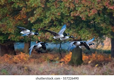Barnacle Goose. Flock of geese flying through forest in autumn migration.