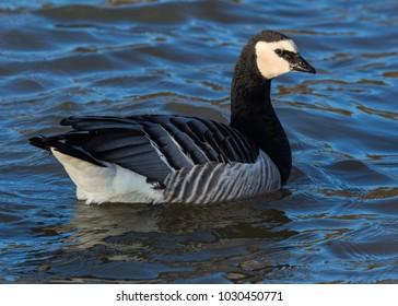 Barnacle Goose. Waterfowl.