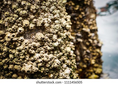barnacles on two posts
