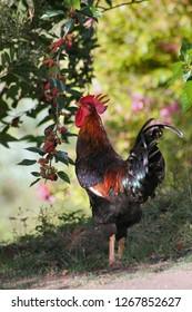 Barnevelder rooster eating the mulberries