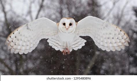 Barnowl in winter
