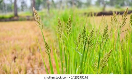 Barnyard grass or Cockspur or Echinochloa crus-galli