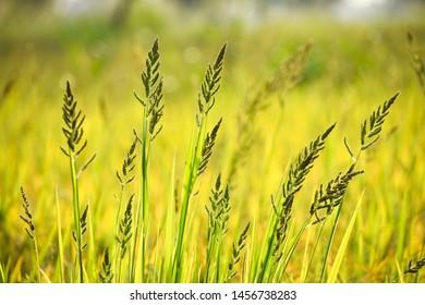 Barnyard grass or Cockspur grass or Barnyard millets and Billion-dollar grasses (Echinochloa crus-galli)