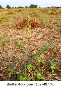 Barnyard grass in the form of weed in the Indian field.
