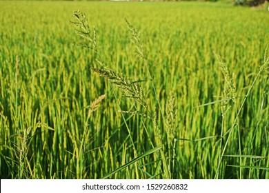barnyard grass, major weed in rice field around the world