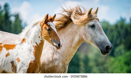 Barock Pinto foal in paddock