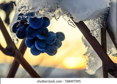 Barolo (Langhe: Piedmont, Italy): winter sunset in the vineyards with the last small grapes of the year, grown after harvest, covered with the first snows of december
