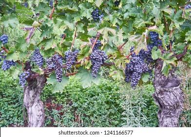 barolo vineyards Italy Piemonte