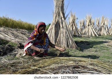 Barpeta, Assam, India. 12 November 2018. Indian man extracts jute fibre from retted Jute Stem at Jania village in Barpeta district, some 150 kms from Guwahati.