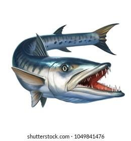 barracuda fish on white