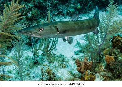 barracuda fish swimming on a coral reef