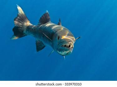 Barracuda in The Indian Ocean, Maldives