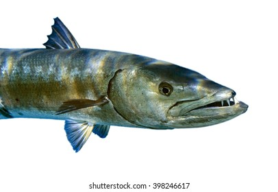 Barracuda isolated on a white background