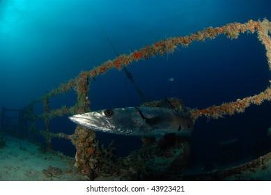 Barracuda looking at diver