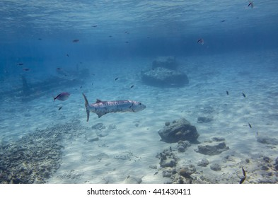 Barracuda (Sphyraenidae)