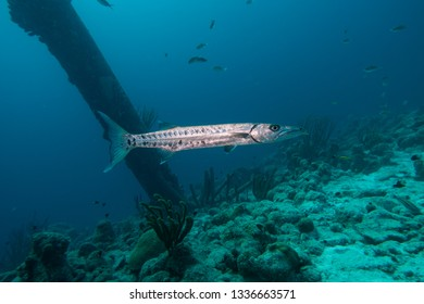 A barracuda swimming below the pillars of the Salt Pier located on the tropical island Bonaire in the Carribean