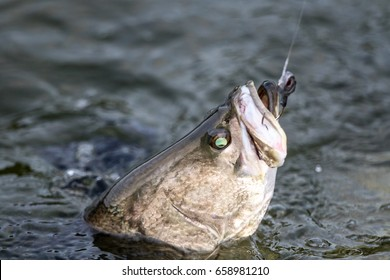 Barramundi or Asian sea bass in the fishing tournament