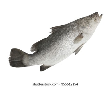 Barramundi fish isolated on white