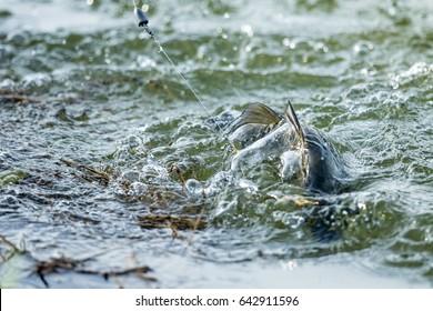 Barramundi fishing , surface action of barramundi in the fishing tournament