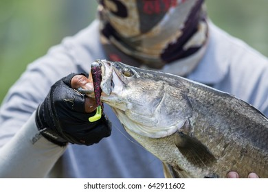 Barramundi holding by a angler in the fishing tournament,Barramundi fishing