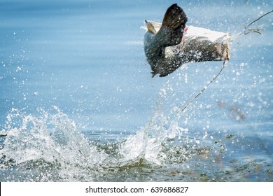 Barramundi jumps into the air when it is hooked by a angler in the fishing tournament