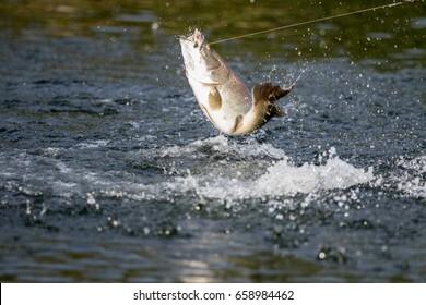 Barramundi jumps into the air when it is hooked by a fisherman fishing ,Barramundi fishing