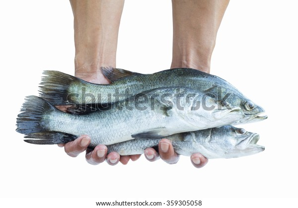 Barramundi ,Silver perch, Fish on hand isolate on white background,Fish fresh and tasty seafood