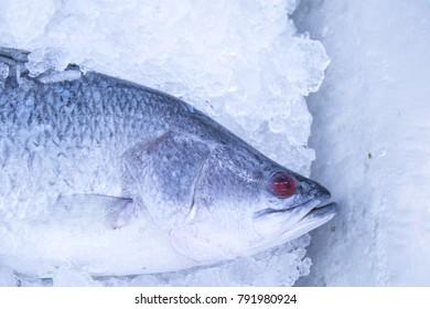 barramundi, silver perch, white perch on ice